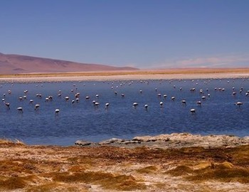 Flamingos in Salar De Tara - Reserve 'Los Flamingos'